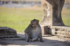 Langschwänziger Makaken-Affe, der auf alten Ruinen von Angkor Wa sitzt Lizenzfreie Stockfotografie
