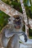 Langschwänziger Makaken-Affe im Dschungel Stockfotos