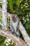 Langschwänziger Makaken-Affe im Dschungel Lizenzfreie Stockfotos