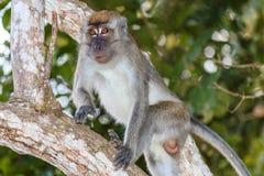 Langschwänziger Makaken-Affe im Dschungel Lizenzfreie Stockbilder