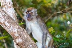 Langschwänziger Makaken-Affe im Dschungel Stockfotografie