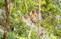 Langschwänziger Makaken-Affe im Wald Stockbilder