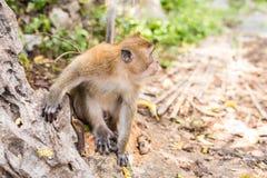 Langschwänziger Makaken-Affe im Wald Lizenzfreies Stockfoto