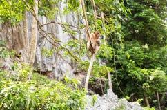Langschwänziger Makaken-Affe im Wald Lizenzfreie Stockfotos