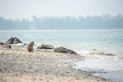 Langschwänziger Makaken auf dem Sandstrand, Thailand Lizenzfreie Stockfotos