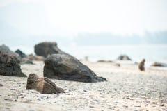 Langschwänziger Makaken auf dem Sandstrand, Thailand Stockbild