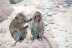 Langschwänziger Makaken auf dem Sandstrand, Thailand Stockfotos