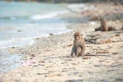Langschwänziger Makaken auf dem Sandstrand, Thailand Stockfotografie
