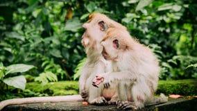 Langschwänziger Makaken der Mutter und des Kindes mit Jungen eine auf Futter Macaca fascicularis, im heiligen Affe-Wald, Ubud Stockfotografie