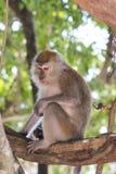 Langschwänziger Makaken des Affen auf dem Baum Lizenzfreies Stockbild