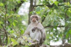 Langschwänziger Makaken des Affen, der auf dem Baum sitzt Lizenzfreie Stockfotos