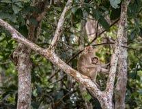 Langschwänziger Makaken des wilden Babys, der Muttermilch von seiner Mutter saugt Stockfoto