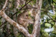 Langschwänziger Makaken des wilden Babys, der Muttermilch von seiner Mutter saugt Stockbild