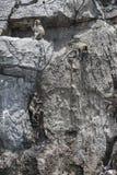Langschwänziger Makaken, die kletternden Affen und sitzen auf einem Felsenberg Lizenzfreie Stockbilder