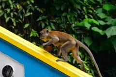 Langschwänziger Makaken, Gua Batu, Malaysia Lizenzfreie Stockbilder