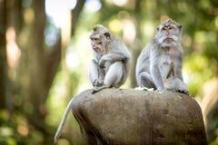 Langschwänziger Makaken im heiligen Affe-Wald Stockfotografie
