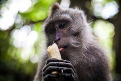 Langschwänziger Makaken im heiligen Affe-Wald, Ubud, Indonesien Lizenzfreies Stockfoto