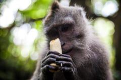 Langschwänziger Makaken im heiligen Affe-Wald, Ubud, Indonesien Lizenzfreie Stockfotos