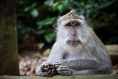 Langschwänziger Makaken im heiligen Affe-Wald, Ubud, Indonesien Stockfotografie