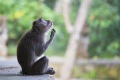 Langschwänziger Makaken im heiligen Affewald in Ubud, Bali, Indonesien Stockbild