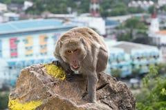 Langschwänziger Makaken, Makaken Krabbe-essend Lizenzfreie Stockbilder