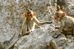 Langschwänziger Makaken (Macaca fascicularis) Lizenzfreie Stockfotografie