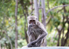 Langschwänziger Makaken, Macaca fascicularis Lizenzfreies Stockfoto
