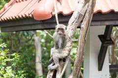 Langschwänziger Makaken, Macaca fascicularis Lizenzfreie Stockbilder