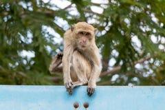 Langschwänziger Makaken, Macaca fascicularis Stockfotografie