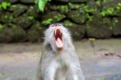 Langschwänziger Makaken (Macaca fascicularis) in den heiligen Affe-Vorderteilen Stockfoto