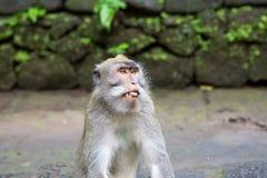 Langschwänziger Makaken (Macaca fascicularis) in den heiligen Affe-Vorderteilen Lizenzfreies Stockbild