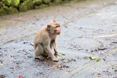 Langschwänziger Makaken (Macaca fascicularis) in den heiligen Affe-Vorderteilen Stockbild