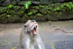 Langschwänziger Makaken (Macaca fascicularis) in den heiligen Affe-Vorderteilen Stockfotografie