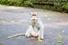 Langschwänziger Makaken (Macaca fascicularis) in den heiligen Affe-Vorderteilen Lizenzfreie Stockfotos