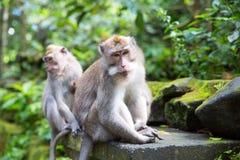 Langschwänziger Makaken (Macaca fascicularis) in den heiligen Affe-Vorderteilen Lizenzfreie Stockfotografie