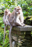 Langschwänziger Makaken (Macaca fascicularis) in den heiligen Affe-Vorderteilen Lizenzfreie Stockbilder