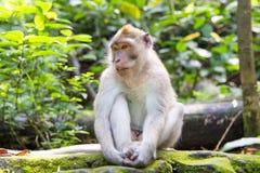 Langschwänziger Makaken (Macaca fascicularis) in den heiligen Affe-Vorderteilen Stockbilder