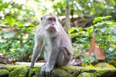 Langschwänziger Makaken (Macaca fascicularis) in den heiligen Affe-Vorderteilen Stockfotos