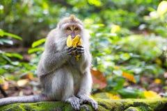 Langschwänziger Makaken (Macaca fascicularis) eine Banane im Beutel essend Stockbild