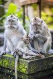 Langschwänziger Makaken mit ihrem Kind Stockfotos