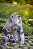 Langschwänziger Makaken mit ihrem Kind Lizenzfreie Stockbilder