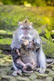Langschwänziger Makaken mit ihrem Kind Stockbilder