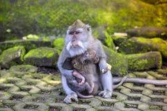 Langschwänziger Makaken mit ihrem Kind Stockbild