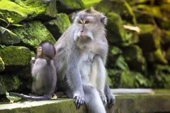 Langschwänziger Makaken mit ihrem Kind Stockfoto