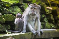 Langschwänziger Makaken mit ihrem Kind Lizenzfreies Stockbild