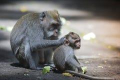 Langschwänziger Makaken mit ihrem Kind Stockfotografie