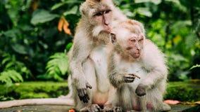 Langschwänziger Makaken mit Jungen eine auf Futter Macaca fascicularis, im heiligen Affe-Wald, Ubud, Indonesien Stockfoto