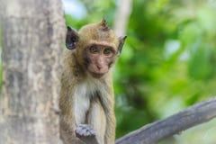 Langschwänziger Makaken oder Krabbe-essen Makaken (Macaca fascicularis) Lizenzfreies Stockfoto