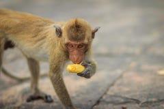 Langschwänziger Makaken oder Krabbe-essen Makaken (Macaca fascicularis) Lizenzfreies Stockbild