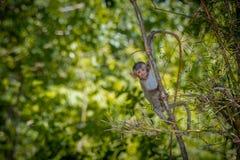 Langschwänziger Makaken, in Thailand, Saraburi ein Naturschutzgebiet, Stockfoto